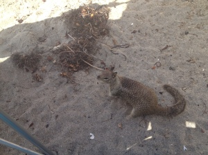 Beach squirrel
